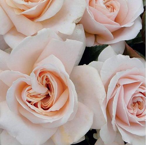 Rosa Orgulho e preconceito